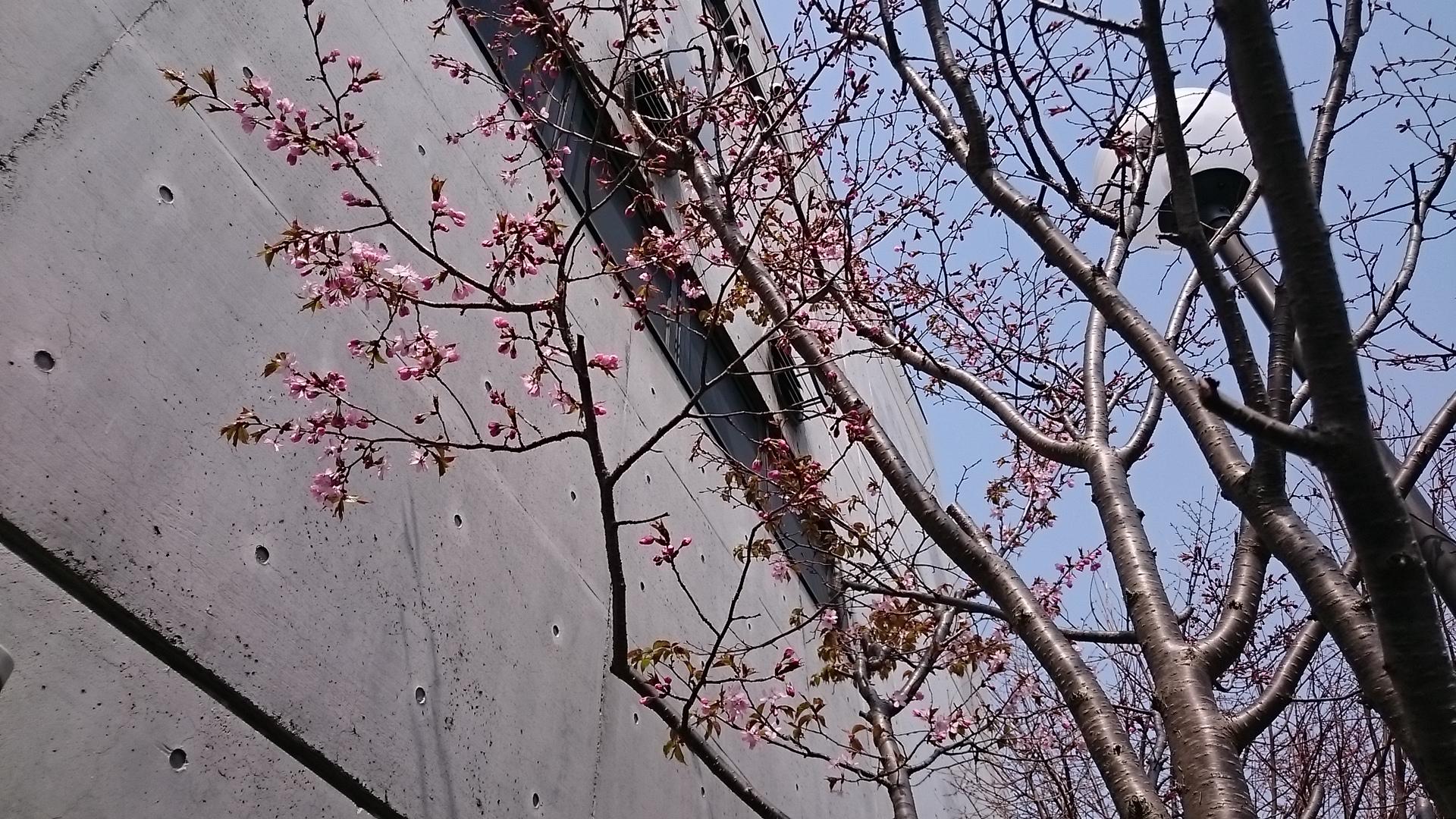 早咲きの桜は壁からの輻射熱で暖められた