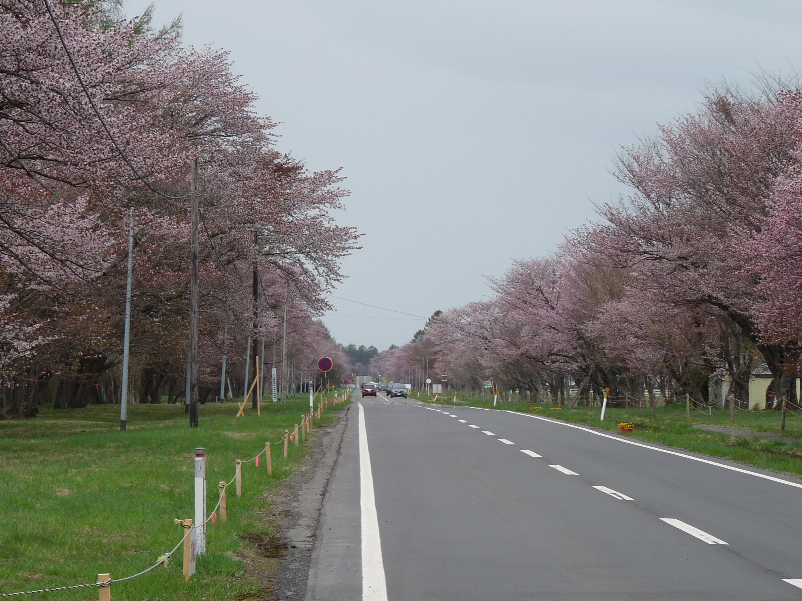静内二十間道路の桜