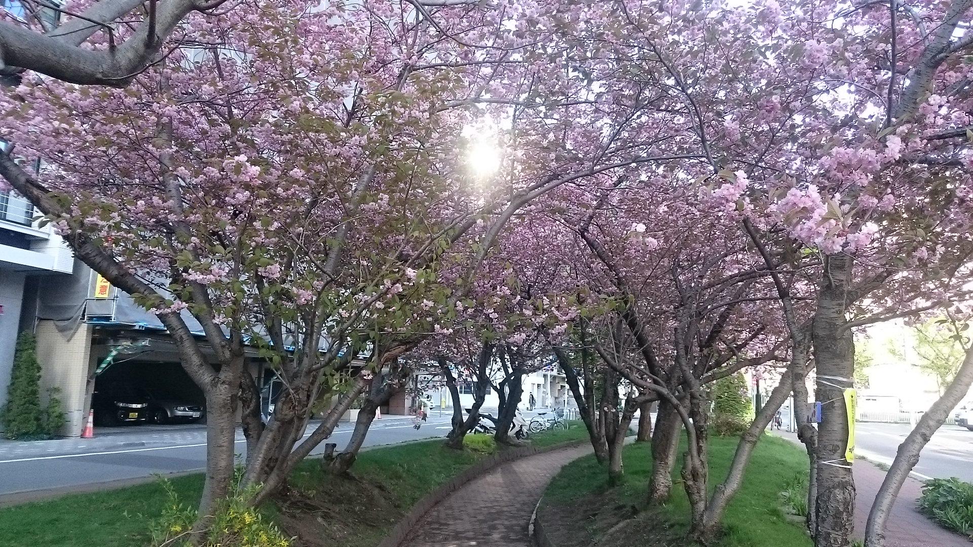 八重桜170512④