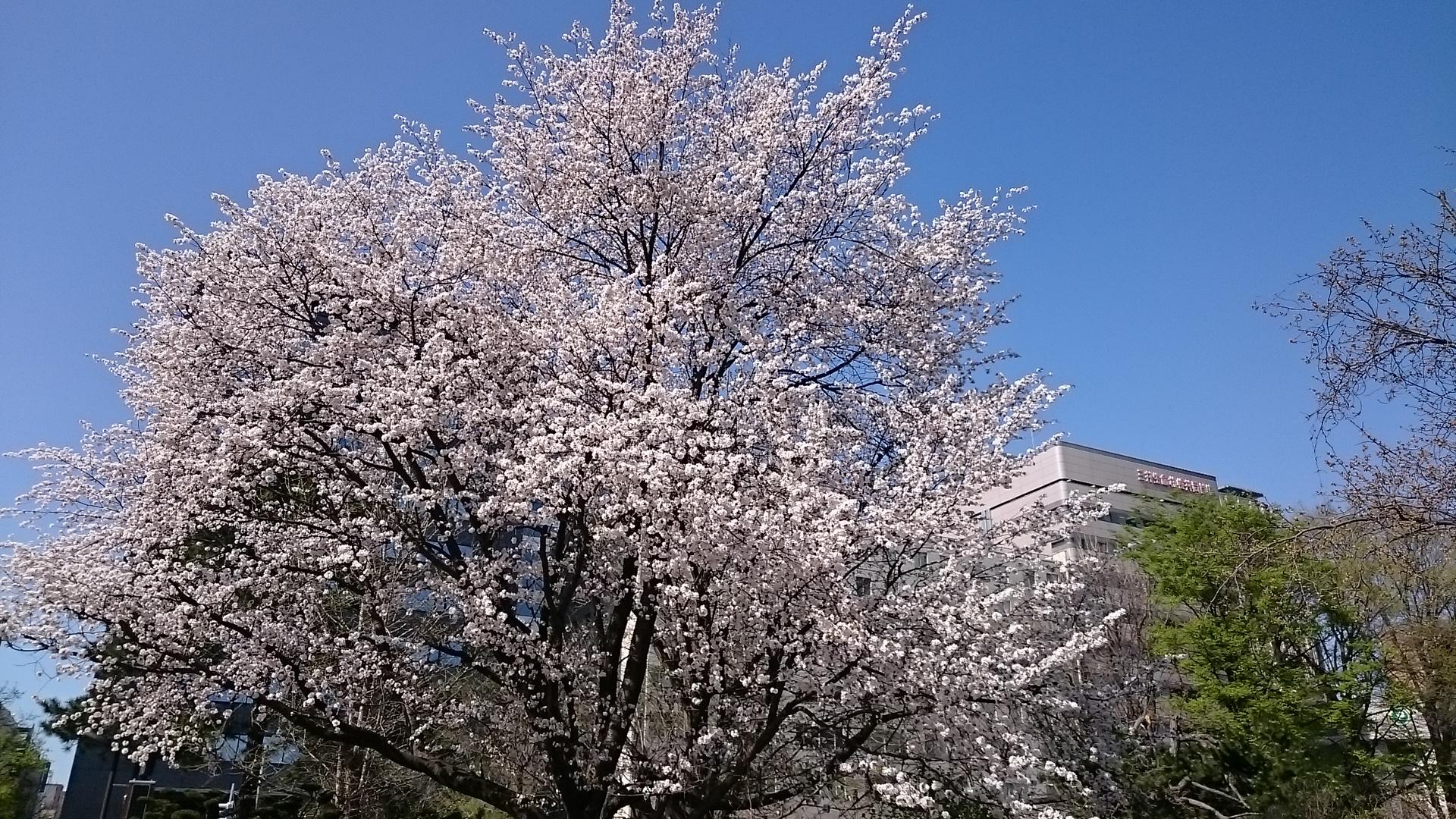 夏日を記録した札幌道庁赤れんがの満開の桜
