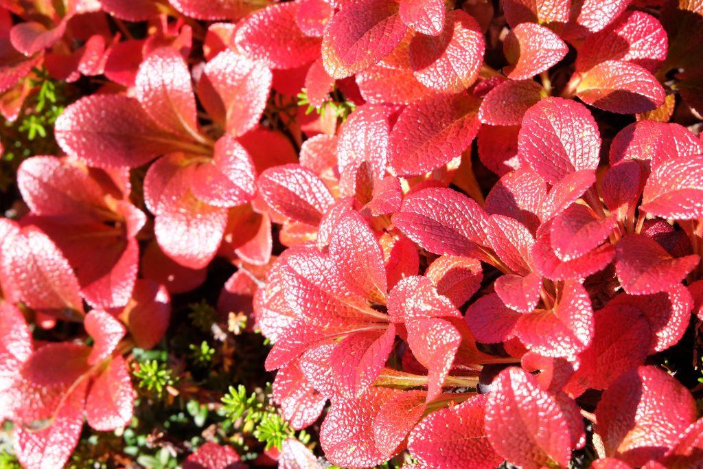 高山植物ウラシマツツジの紅葉