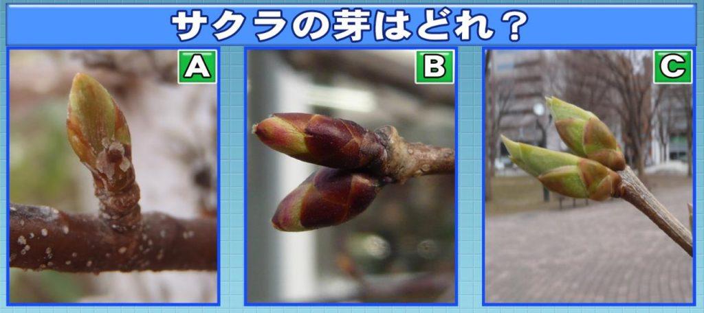 クイズ!桜の芽はどれ?